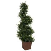 Spring Green Boxwood Spiral Tree