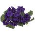 Dark Violet Geranium Bush