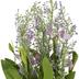 Lavender Foxtail Bush