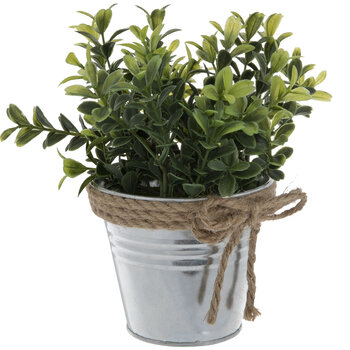 Boxwood Plant In Metal Container