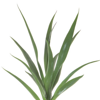 Agave Potted Plant